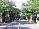 中野通り桜(2013.5.5)南