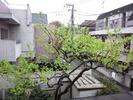 柿2012(新葉)4.22