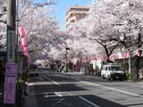 中野通り桜(080401南方面)