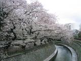 桜2007[哲学堂04.04-1]