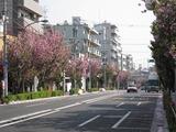 桜2011(都道420号:長崎5・6)4.27)