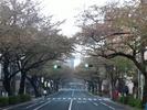 中野通り桜2012(南)4.18