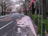 桜-2010(中野通り[掃除:車道]04.11)