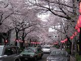 中野通り「桜」 2009.04.04-nPM
