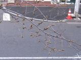 中野通り「桜」 2009.03.21-up