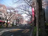 中野通り桜(080325北方面)
