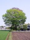 市貝「欅」(2013.5.5)