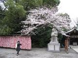 桜-2010(寒川神社[本殿前]04.02)