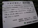 桜-2010(中野通り[ソメイヨシノ解説]04.09)