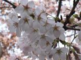 中野通り「桜」 2009.04.04-up
