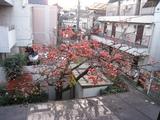 柿(2008.12.21朝-収穫前)