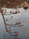 牛池(20150331)蕾