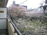 桜並木2007[04.04-1]