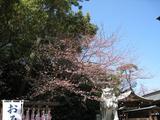 寒川神社(門前桜2009.04.02)