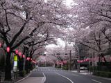 桜-2010(中野通り[北]04.09)