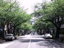 中野通り桜2012(南)4.28