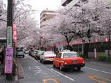 中野通り桜(080331南方面)