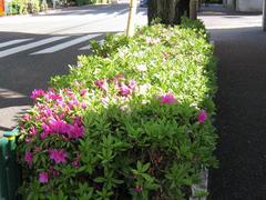 中野通り「つつじ」 2009.04.15