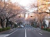 桜-2011(中野通り:南)4.05