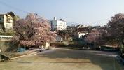 桜(警察署下ゲートボール場)