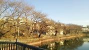 牛池(20140401)桜&八ヶ岳