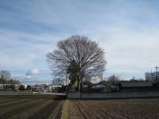 欅(2011正月)