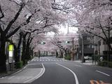 桜2011(中野通り:北)4.9