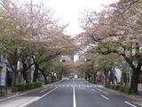 桜2011(中野通り:南)4.16