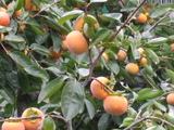 柿(2008.11.09-2)