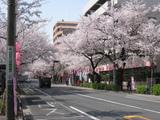 中野通り桜(080403南方面)