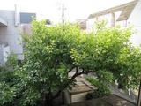 柿-2010(自宅06.06[花→実]全景)