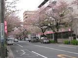 中野通り桜(080407南方面)