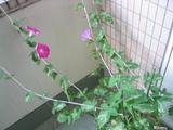 151_5137.JPG-asagao08.07