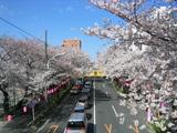 桜並木2007[0330-2]