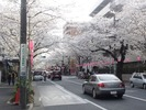 上小五中花見2013.3.24_03