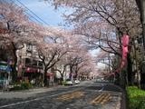 中野通り桜(080405北方面)