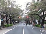 桜2011(中野通り:南)11.01