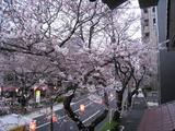 桜-2010(中野通り[自宅2F北]03.29)