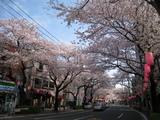 中野通り桜(080404北方面)