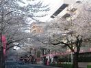 中野通り桜まつり2013(松が丘)南