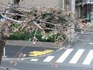 中野通り桜2012(自宅前)3.31開花3