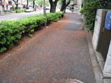 中野通り桜(080419歩道)