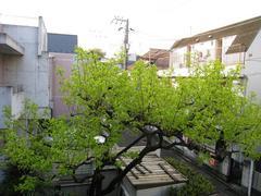 柿-2010(自宅04.24)