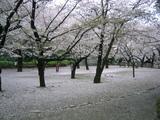 桜2007[哲学堂04.04-2]