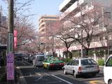 中野通り桜(080325南方面)