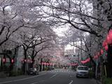 中野通り「桜」 2009.04.04-n