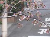 桜-2011(中野通り:アップ)3.31