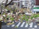 中野通り桜2012(自宅前)4.13