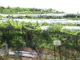 ドライブ山梨2010.08(登美の丘ワイナリー:メルロー種)