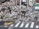 中野通り桜2012(自宅前)4.6